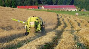 Dinkel als alternatives Getreide